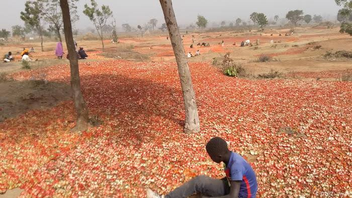 Northern Tomato Farmers, Traders Lose Over ₦10 Billion In One Week, Cry Out