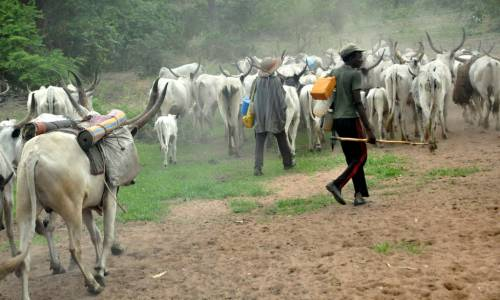 30 Herdsmen, 322 Cows Missing In Anambra – Miyetti Allah Writes Police